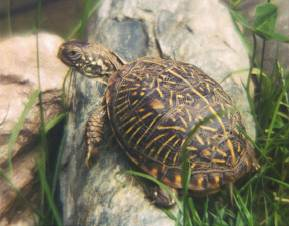 what is a box turtle box turtles by definition have