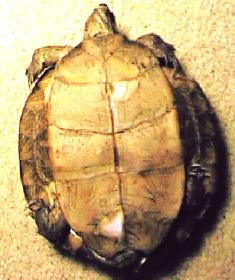 Home Treatment for Mild Shell Rot in Turtles