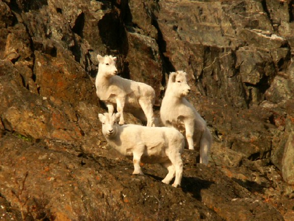 Three Little Dall Sheep Lambs On Some Turnagain Arm Cliffs