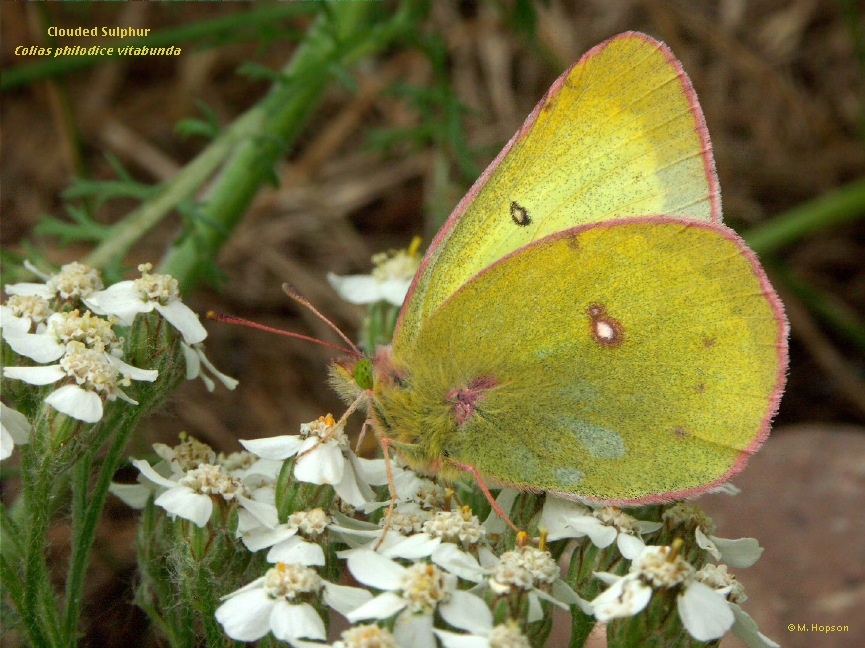 Clouded Sulphur Butterfly - Colias philodice - North ... |Clouded Sulphur Butterfly