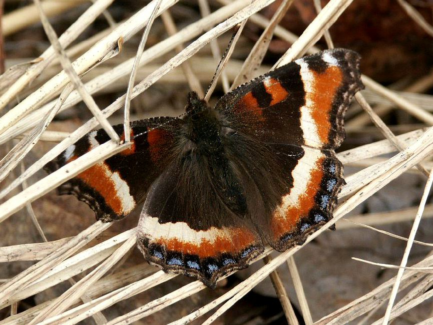 Butterfly pictures genus species - Milbert's Tortoiseshell 4