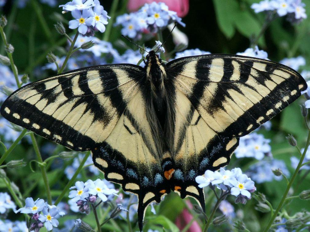 Canadian Tiger Swallowtail Butterfly in Alaska